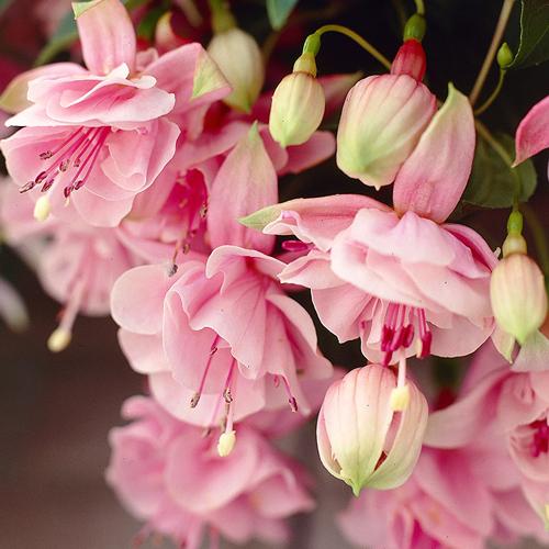 fuksia-pink