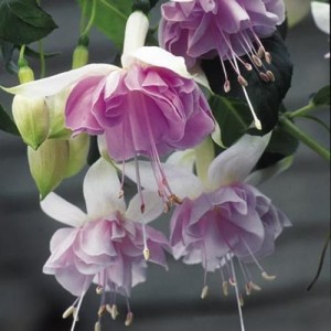 fuksia-valge-roosa