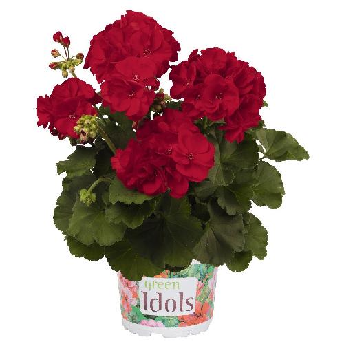pelargoon-green-idols-dark-red