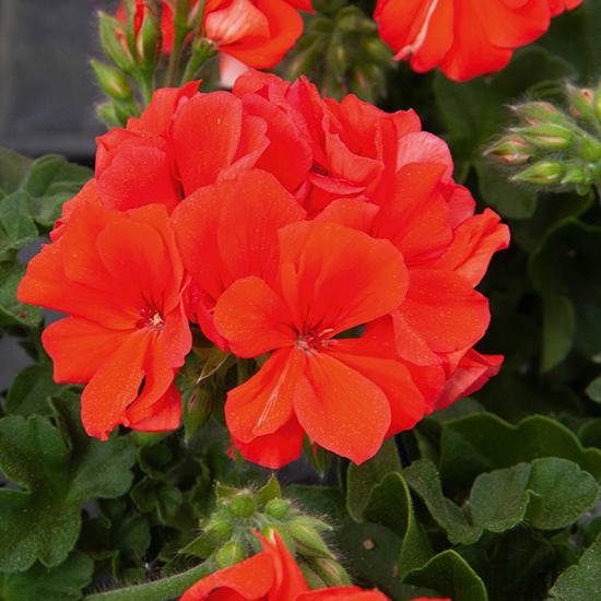 pelargoon-marcada-orange