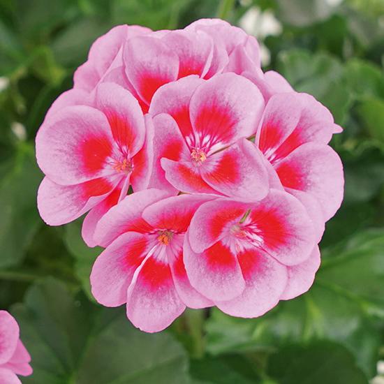 pelargoon-marcada-pink-purple