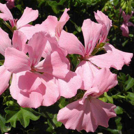 pelargoon-marcada-pink
