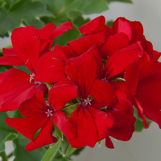 pelargoon-marcada-red