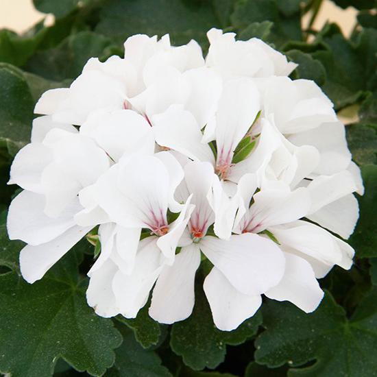 pelargoon-marcada-white