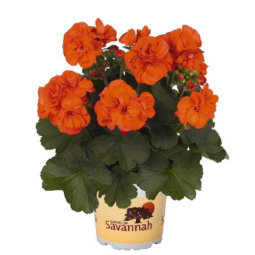 pelargoon-oh-so-orange