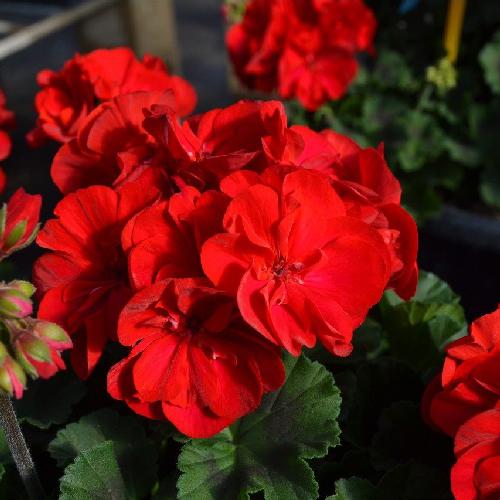 pelargoon-really-red