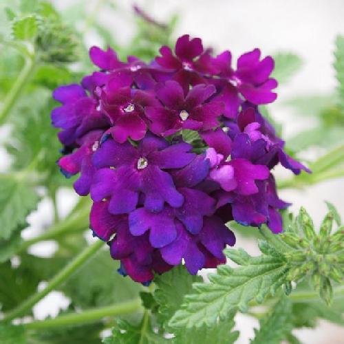raudürt-empress-sun-violet