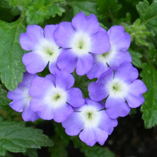 raudürt-lavender