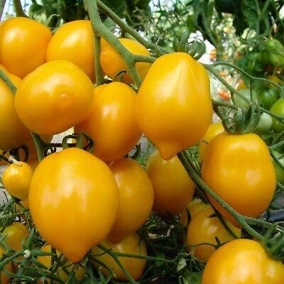tomat-citrina