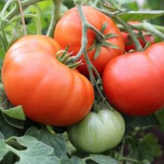 tomat-koit