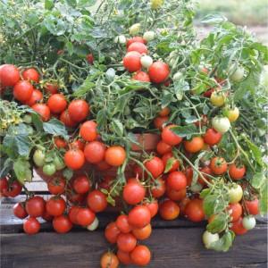 tomat-maskotka