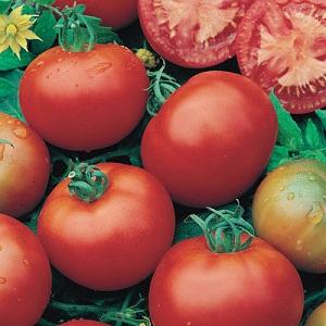 tomat-moneymaker