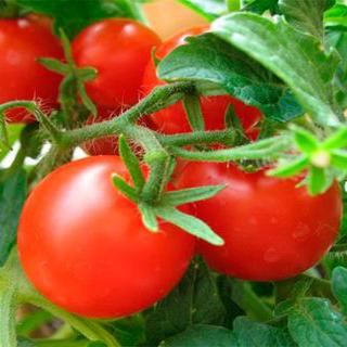 tomat-peremoga