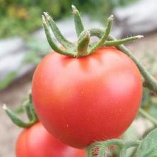 tomat-terma