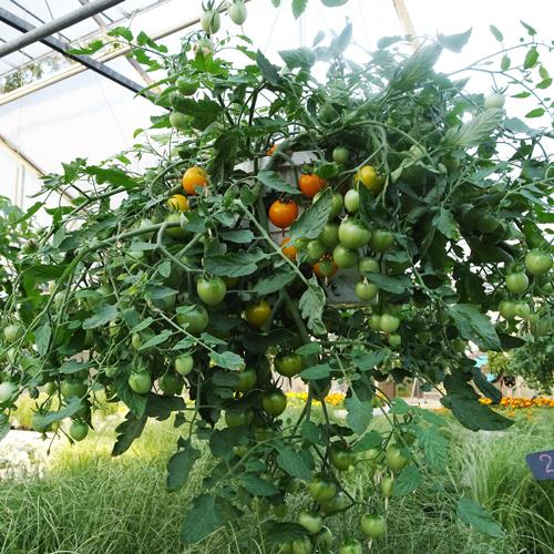 tomat-tumbling-tom-punane