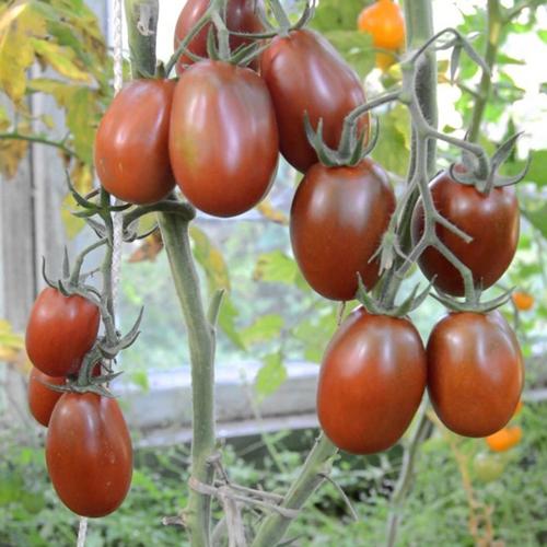 tomato-cherry-mavr