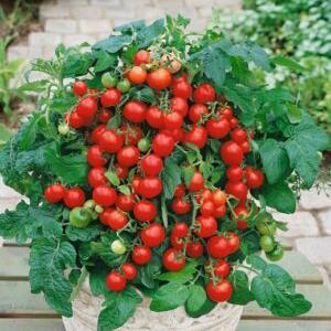 tomat-vilma