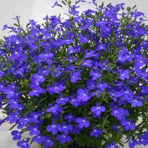 lobelia dark blue
